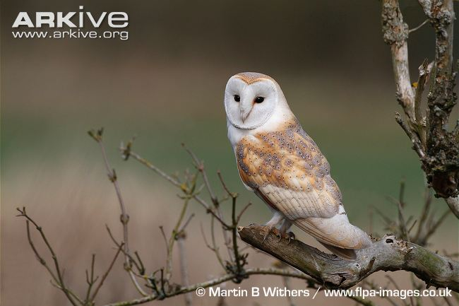 Male-barn-owl-perched