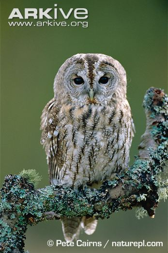 Tawny-owl--perched-on-branch