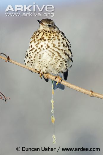 Mistle-thrush-excreting-mistletoe-berry-seeds