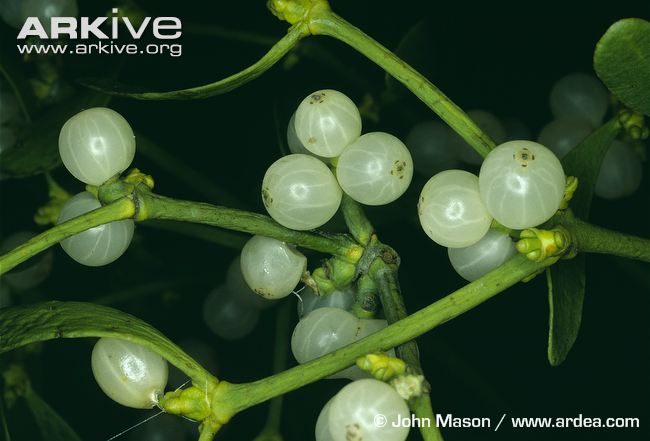 Mistletoe-with-berries